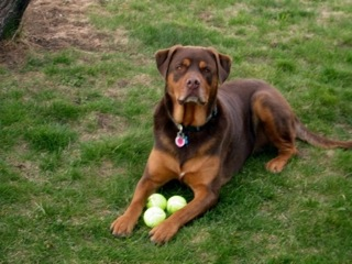 Rottweiler And Chocolate Lab Mix Images & Pictures - Becuo